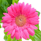 Large pink daisy flower gerbera with leafs is isolated on white Stock Photo