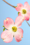Large pink dogwood flower Stock Photography