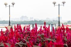 Large pink flower Amaranth purple. On the background of the river and the embankment. Bushes of pink flowers in nature. Macro photography of a terry flower royalty free stock photos