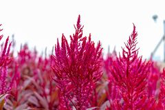 Large pink flower Amaranth purple. Macro photography of a terry flower, green leaves. Pink flower in nature royalty free stock photo