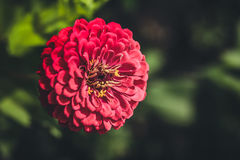 large pink flower royalty free stock photography
