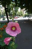 Large pink flower of common hollyhock. In June royalty free stock photo