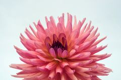 Large pink flower of the dahlia. Large pink dahlia flower with drops of water on a light background royalty free stock photo