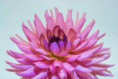 Large pink flower of the dahlia. Large pink dahlia flower with drops of water on a light background royalty free stock image