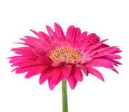 Large pink flower gerbera of stalk is isolated on white. Background, closeup Royalty Free Stock Photos