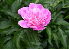 Large pink flower of a peony Paeonia L.  royalty free stock images