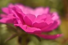 Large pink flower portulaca on the background. Large blooming pink portulaca flower on a green natural background with blurred leaves stock photos