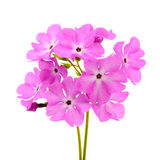A large pink flowered primrose Royalty Free Stock Photos