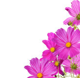 Large pink flowers corner isolated on white Stock Images