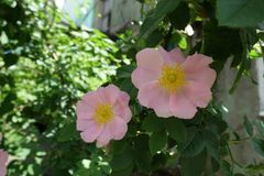 Large pink flowers of Rosa canina. In spring Royalty Free Stock Photography