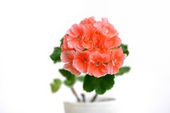 Large pink geranium flower on a white background Royalty Free Stock Image