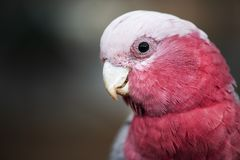 Large pink and grey Galah. Royalty Free Stock Images