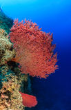 Large pink hard fan corals on a reef wall. Pink sea fans on a coral reef wall royalty free stock photography