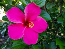 A large pink hibiscus flower in sunny day. A large pink hibiscus or Shoe flower, Chinese rose flower in the garden royalty free stock photo