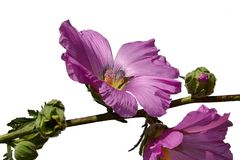 Large pink hibiscus flowers, leaves and buds on a single stalk, white background Royalty Free Stock Images