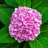 Large pink hydrangea flower that blooms in the sun.  royalty free stock photos