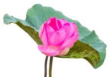 Large Pink Lotus Stock Photos