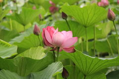 Large pink lotus flower. Against the background of green leaves royalty free stock photography