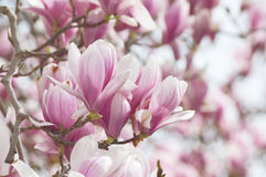 Large pink magnolia flowers Royalty Free Stock Images