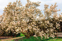Large pink magnolia tree. Stock Photo