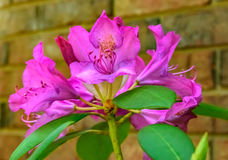 Giant Pink Rhododendron  Royalty Free Stock Images