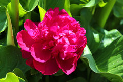 Large pink peony flower in full bloom. Close up of a bright pink peony flower stock photos