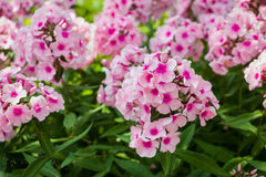 Large pink phlox blooming in the summer garden. Selective focus Royalty Free Stock Photo