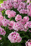 Large pink phlox blooming in the summer garden Royalty Free Stock Photography