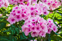 Large pink phlox blooming in the summer garden Stock Photo
