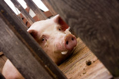Large pink pig in a crate Stock Photography
