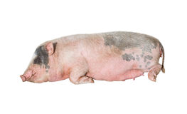 Large pink pig sleeping Royalty Free Stock Photography