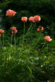 large pink poppies Stock Photography