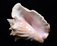 Large pink queen conch seashell. On black fabric background Stock Images