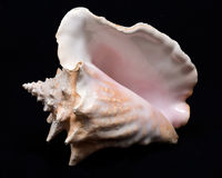 Large pink queen conch seashell. On black fabric background Royalty Free Stock Photos