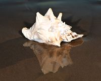 Large pink queen conch seashell lying on wet sand near the water on the beach stock photos