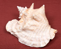 Large pink queen conch seashell Royalty Free Stock Image