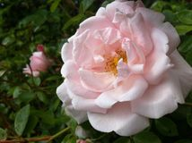 Large pink rose in the garden in summer. Stock Photos