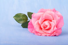 Large pink rose on a painted light blue background Royalty Free Stock Image