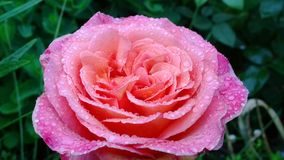 Large pink rose with rain drops in the garden Stock Images
