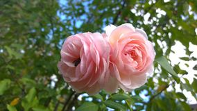 Large pink roses against a blue sky Stock Images