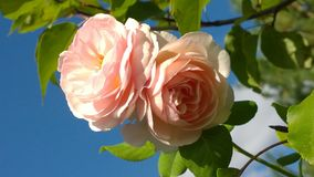 Large pink roses against a blue sky Royalty Free Stock Photos