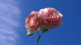 Large pink roses against a blue sky Royalty Free Stock Photo