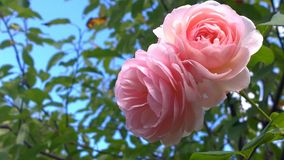 Large pink roses against a blue sky Stock Photos
