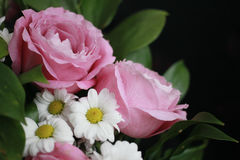 Large pink roses and on white daisies n a dark background. Isolated Stock Photo