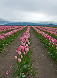 Large Pink Tulip Field Stock Photos