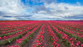 Large pink tulip field in beautiful sky Royalty Free Stock Image