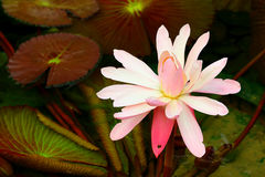 Large pink water lily stock photo