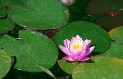 Large pink water Lily floating among the big green leaves stock photos