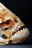 Large Piranhas. Skeleton from the Amazon river Stock Photography