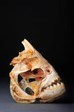 Large Piranhas. Skeleton from the Amazon river Stock Images